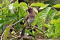 Dark-capped Bulbul (Pycnonotus tricolor tricolor).jpg