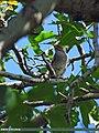 Dark-throated Thrush (Turdus ruficollis) (15707557840).jpg