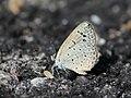 Dark grass blue from Melagiri TN IMG 6190.jpg