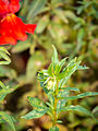 Das Große Löwenmaul lat. Antirrhinum majus, Garten-Löwenmaul 09.jpg