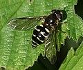 Dasysyrphus venustus (female) - Flickr - S. Rae (4).jpg