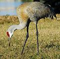 DeBary Sandhill Crane - Grus Canadensis Pratensis - Flickr - Andrea Westmoreland.jpg