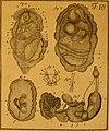 De quibusdam animalibus marinis, eorumque proprietatibus, orbi litterario vel nondum vel minus notis, liber - cum nonnullis tabulis aeri incisis, ab auctore super vivis animalibus delineatis (1761) (20867296871).jpg