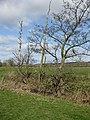 Dead alders by Back Brook - geograph.org.uk - 1219313.jpg