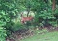 Deer (43024567031).jpg