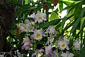 Dendrobium Angel Flower 1zz.jpg