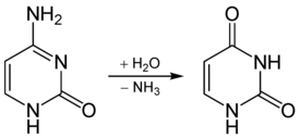 Deamidation of cytosine to uracil.