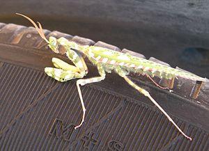 Flower mantis - Image: Devil flower mantis