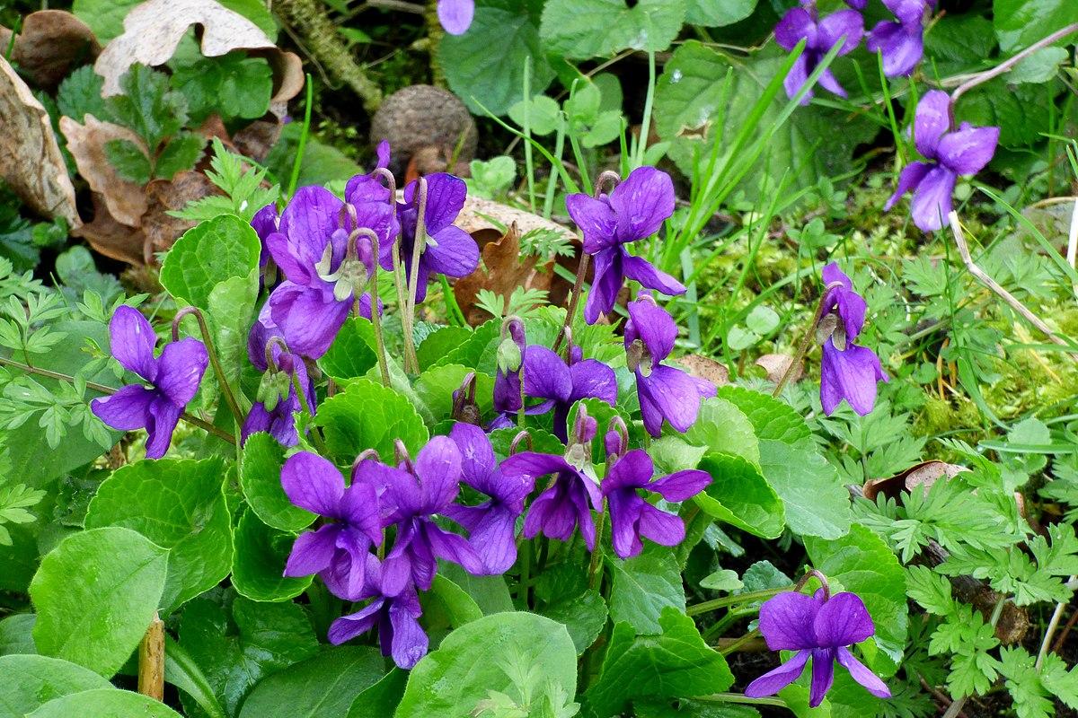 Violet (color) , Wikipedia