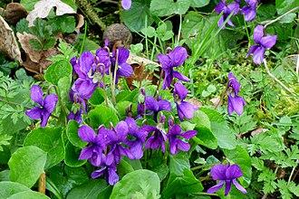 Violet (color) - Image: Devon Violets. Viola odorata (33624079715)