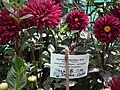 Dhalia cactus from Lalbagh flower show Aug 2013 7934.JPG