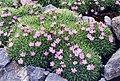 Dianthus anatolicus 2.jpg