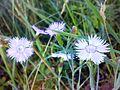 Dianthus arenarius 030720085691.jpg