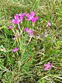 Dianthus deltoides sl1.jpg