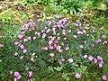 Dianthus graniticus.jpg