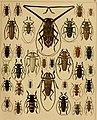 Die exotischen Käfer in Wort und Bild (1908) (20903852742).jpg