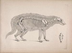 African civet - Skeleton