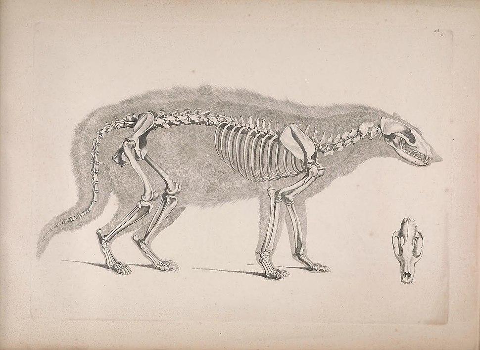 Die vergleichende Osteologie (1821) Civettictis civetta