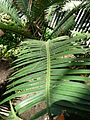 Dioon edule 02 by Line1.jpg
