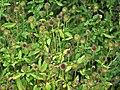 Dipsacus strigosus inflorescence (07).jpg