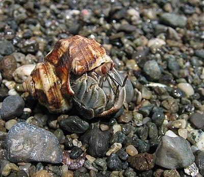 A Hermit Crab at Parque Nacional Corcovado