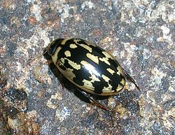 definition of dytiscidae