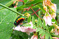 Dogbane Beetle (Chrysochus auratus), La Verendrye Wildlife Reserve.jpg