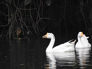 Domestic goose - A pair of swan goose-type domestic geese swimming