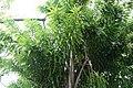 Dracaena americana 4zz.jpg