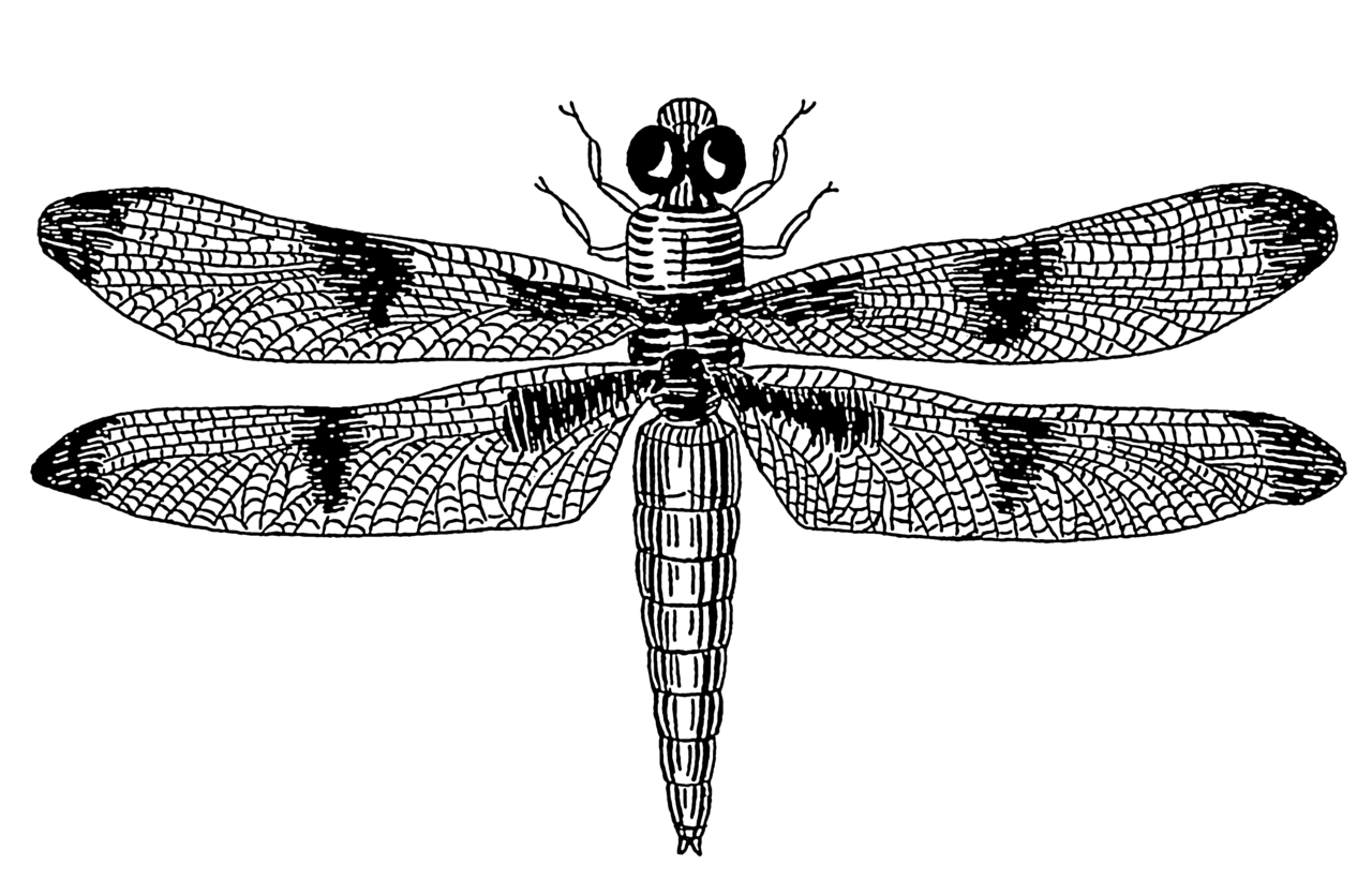 Line Drawing Dragonfly : File dragonfly psf wikimedia commons