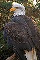 Dramatic Eagle (4144738533).jpg