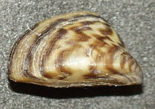 Image result for zebra mussel
