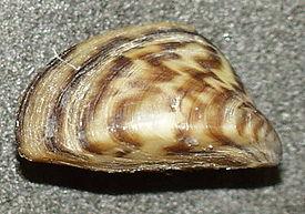 http://upload.wikimedia.org/wikipedia/commons/thumb/a/a9/Dreissena_polymorpha3.jpg/275px-Dreissena_polymorpha3.jpg
