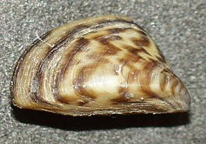 A shell of the zebra mussel, Dreissena polymorpha