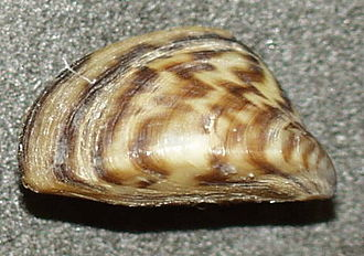 Zebra mussel - Close-up of a typical shell of a zebra mussel