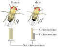 Drosophila XY sex-determination.svg