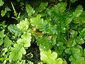 Drynaria quercifolia kz6.jpg