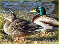 Duck Couple, Ford Park 1-19-14a (12226565653).jpg