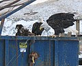 Dumpster eagles.jpg