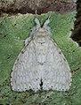 Dura alba (28960981938), crop.jpg