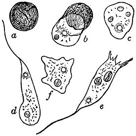 EB1911 Mycetozoa - Didymium difforme - hatching of the spores.jpg
