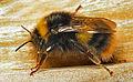 Early Bumble Bee (Bombus pratorum) queen (13043911623).jpg