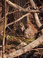 Eastern Cottontail (Sylvilagus floridanus) 05.jpg