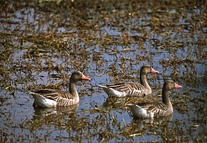 Greylag goose - Three eastern greylag geese (A. a. rubrirostris) at Keoladeo National Park in Rajasthan, India