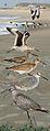 Eastern Willet From The Crossley ID Guide Eastern Birds.jpg