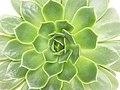 Echeveria rosette detail 01.jpg