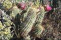 Echinocereus fasciculatus (1).jpg