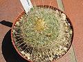 Echinomastus macdowelii.JPG