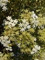 Echinophora spinosa-1.jpg