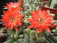 Echinopsis chamaecereus 1